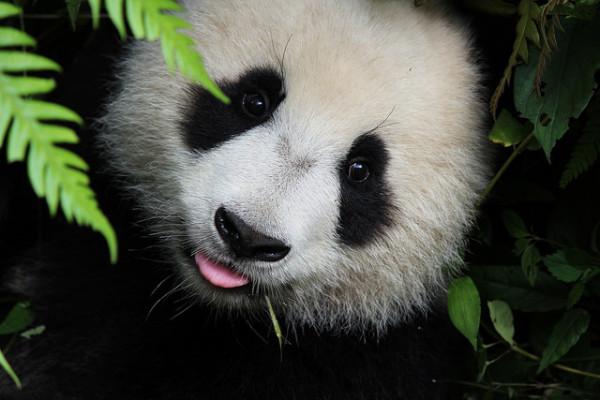 panda cub @flickr